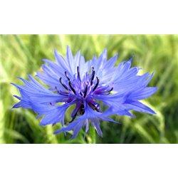 Eau florale bleuet bio Herbes et traditions200ml